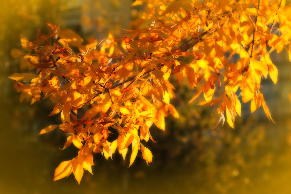 01_Ясень-златовласец