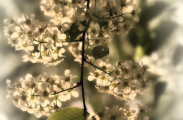 Bird Cherry Tree The Bride