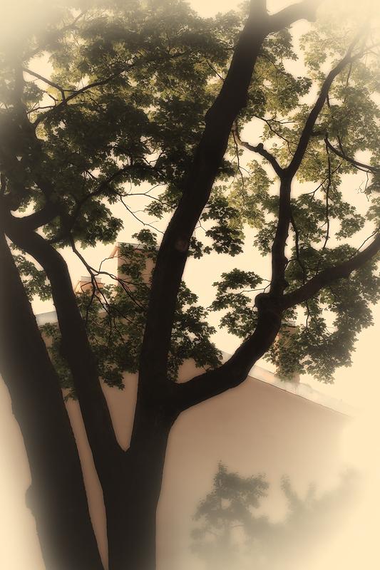 07_Клен-горожанин